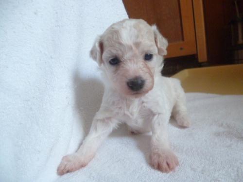 ビションフリーゼの子犬(ID:1252311230)の1枚目の写真/更新日:2018-05-16