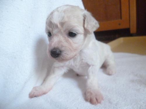 ビションフリーゼの子犬(ID:1252311230)の2枚目の写真/更新日:2018-05-16