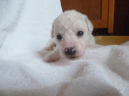 ビションフリーゼの子犬(ID:1252311231)の1枚目の写真/更新日:2018-05-16
