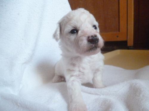 ビションフリーゼの子犬(ID:1252311231)の2枚目の写真/更新日:2018-05-16