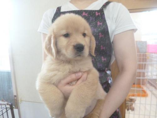 ゴールデンレトリバーの子犬(ID:1252311232)の4枚目の写真/更新日:2018-06-18