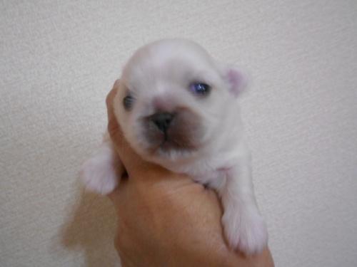 ペキニーズの子犬(ID:1252311235)の1枚目の写真/更新日:2020-01-17