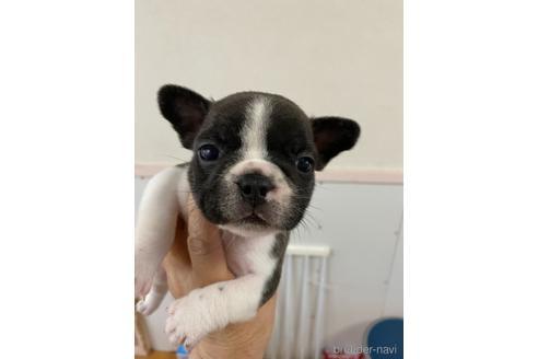 フレンチブルドッグの子犬(ID:1252311236)の1枚目の写真/更新日:2020-04-10
