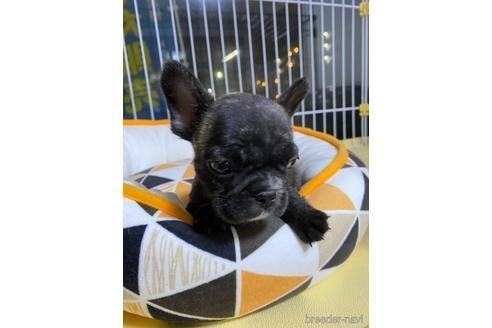 フレンチブルドッグの子犬(ID:1252311237)の1枚目の写真/更新日:2020-04-10