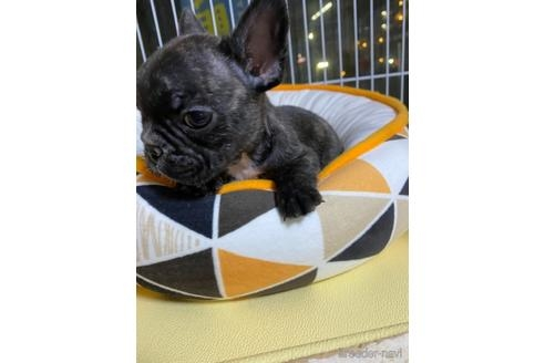 フレンチブルドッグの子犬(ID:1252311237)の2枚目の写真/更新日:2020-04-10