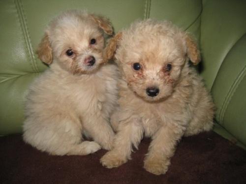 トイプードルの子犬(ID:1252511001)の2枚目の写真/更新日:2018-09-12