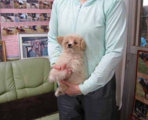 トイプードルの子犬(ID:1252511002)の1枚目の写真/更新日:2018-09-19