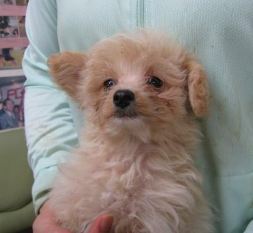 トイプードルの子犬(ID:1252511002)の2枚目の写真/更新日:2018-09-19