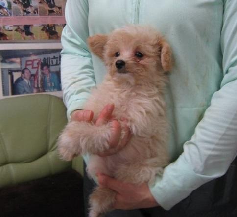 トイプードルの子犬(ID:1252511002)の3枚目の写真/更新日:2018-09-19