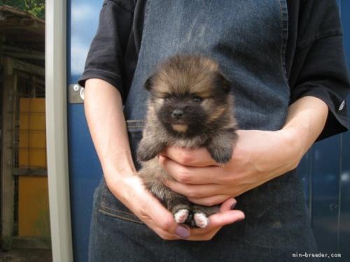 ポメラニアンの子犬(ID:1252511006)の1枚目の写真/更新日:2018-08-06