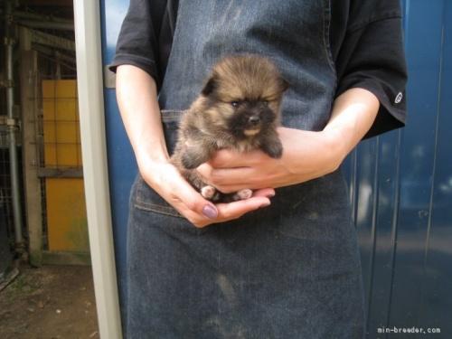 ポメラニアンの子犬(ID:1252511006)の2枚目の写真/更新日:2018-08-06