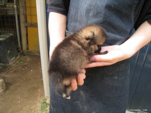 ポメラニアンの子犬(ID:1252511006)の3枚目の写真/更新日:2018-08-06