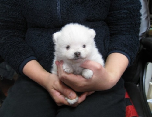 ポメラニアンの子犬(ID:1252511008)の1枚目の写真/更新日:2020-03-21