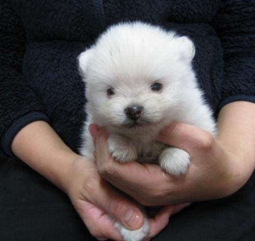 ポメラニアンの子犬(ID:1252511008)の2枚目の写真/更新日:2020-03-21