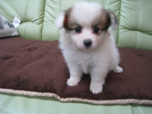 パピヨンの子犬(ID:1252511011)の1枚目の写真/更新日:2018-08-06