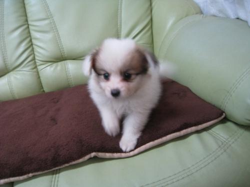 パピヨンの子犬(ID:1252511011)の2枚目の写真/更新日:2018-08-06