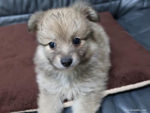 ミックスの子犬(ID:1252511040)の4枚目の写真/更新日:2020-09-14