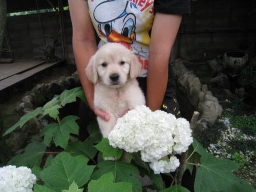 ゴールデンレトリバーの子犬(ID:1252511051)の1枚目の写真/更新日:2018-06-21