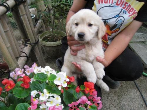 ゴールデンレトリバーの子犬(ID:1252511051)の2枚目の写真/更新日:2018-06-21