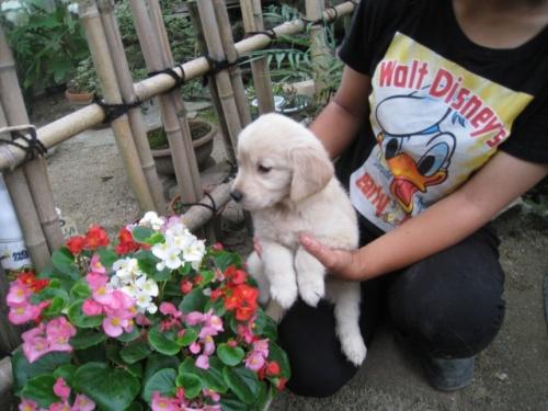 ゴールデンレトリバーの子犬(ID:1252511051)の3枚目の写真/更新日:2018-06-21