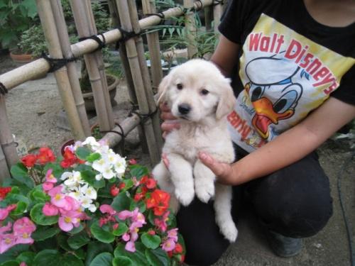 ゴールデンレトリバーの子犬(ID:1252511051)の4枚目の写真/更新日:2018-06-21