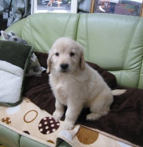 ゴールデンレトリバーの子犬(ID:1252511054)の2枚目の写真/更新日:2018-11-26