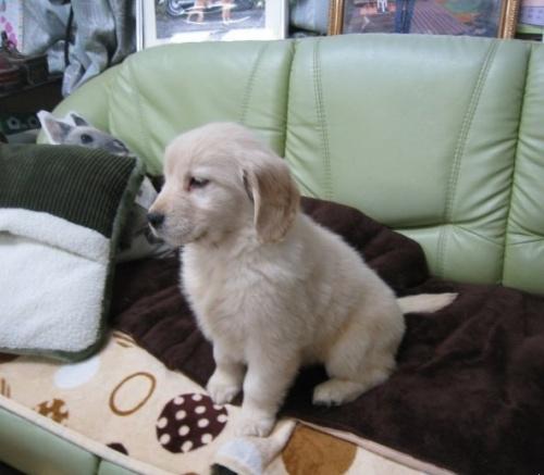 ゴールデンレトリバーの子犬(ID:1252511054)の3枚目の写真/更新日:2018-11-26