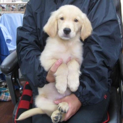 ゴールデンレトリバーの子犬(ID:1252511055)の1枚目の写真/更新日:2019-09-15