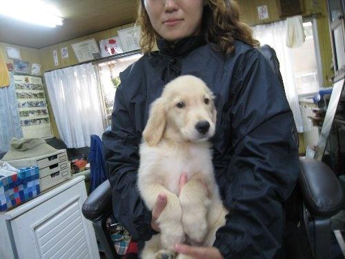 ゴールデンレトリバーの子犬(ID:1252511055)の2枚目の写真/更新日:2019-09-15