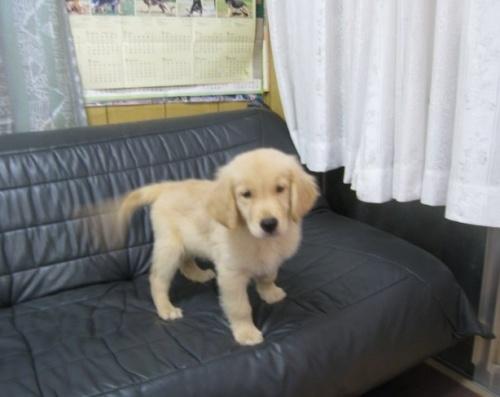 ゴールデンレトリバーの子犬(ID:1252511055)の4枚目の写真/更新日:2019-08-27