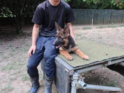 ジャーマン・シェパード・ドッグの子犬(ID:1252511057)の2枚目の写真/更新日:2017-02-06
