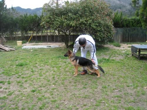 ジャーマン・シェパード・ドッグの子犬(ID:1252511059)の1枚目の写真/更新日:2017-04-10