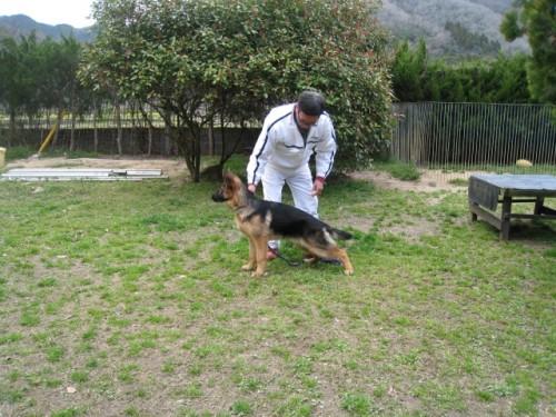 ジャーマン・シェパード・ドッグの子犬(ID:1252511059)の2枚目の写真/更新日:2017-04-10