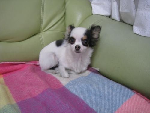 チワワ(ロング)の子犬(ID:1252511060)の1枚目の写真/更新日:2017-04-10