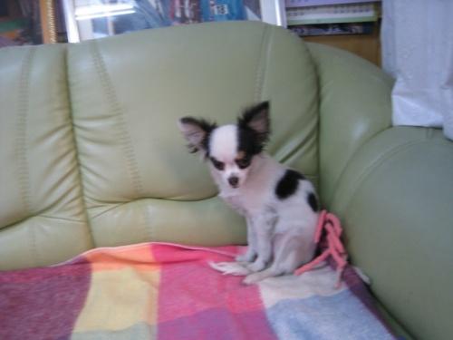 チワワ(ロング)の子犬(ID:1252511060)の2枚目の写真/更新日:2017-04-10