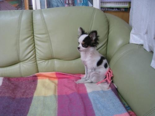 チワワ(ロング)の子犬(ID:1252511060)の3枚目の写真/更新日:2017-04-10