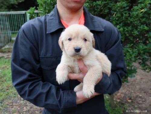 ゴールデンレトリバーの子犬(ID:1252511061)の1枚目の写真/更新日:2017-04-10