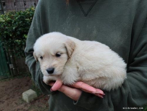 ゴールデンレトリバーの子犬(ID:1252511061)の3枚目の写真/更新日:2017-04-10