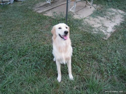 ゴールデンレトリバーの子犬(ID:1252511061)の4枚目の写真/更新日:2021-07-29