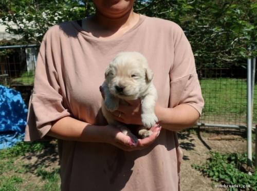 ゴールデンレトリバーの子犬(ID:1252511062)の1枚目の写真/更新日:2017-04-20