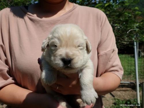 ゴールデンレトリバーの子犬(ID:1252511062)の2枚目の写真/更新日:2021-06-22