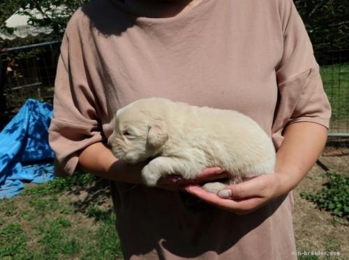 ゴールデンレトリバーの子犬(ID:1252511062)の3枚目の写真/更新日:2017-04-17