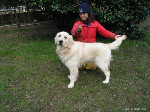 ゴールデンレトリバーの子犬(ID:1252511062)の4枚目の写真/更新日:2021-06-22