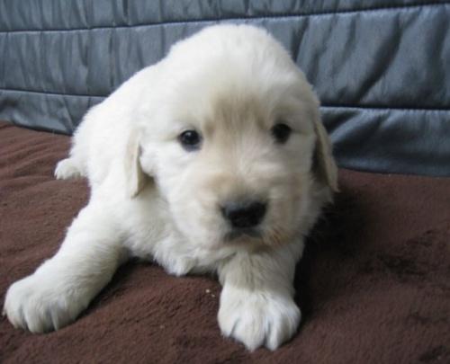ゴールデンレトリバーの子犬(ID:1252511063)の1枚目の写真/更新日:2017-05-15