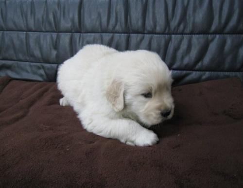 ゴールデンレトリバーの子犬(ID:1252511063)の2枚目の写真/更新日:2017-05-15