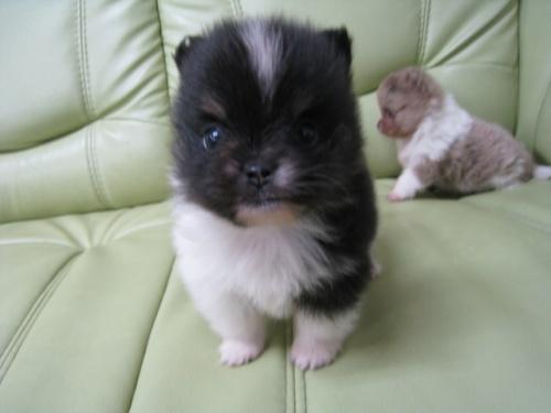 ポメラニアンの子犬(ID:1252511064)の3枚目の写真/更新日:2017-05-20