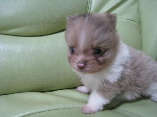 ポメラニアンの子犬(ID:1252511065)の1枚目の写真/更新日:2017-05-20