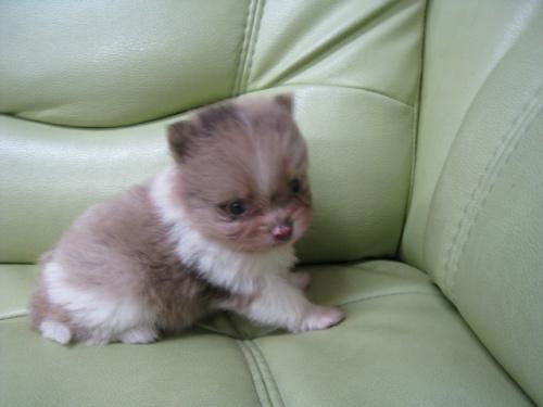 ポメラニアンの子犬(ID:1252511065)の2枚目の写真/更新日:2017-05-20