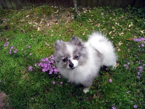 ポメラニアンの子犬(ID:1252511065)の5枚目の写真/更新日:2017-05-20
