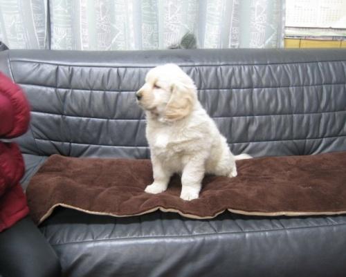 ゴールデンレトリバーの子犬(ID:1252511069)の2枚目の写真/更新日:2017-06-19